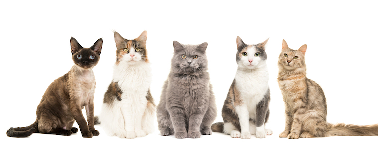 All About Cat Breeds - Animal Clinic of Woodruff